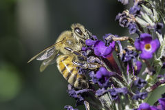Miodowa pszczoła Fotografia Stock