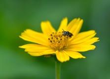 Miodowa pszczoła kwiat i zbiera nektar Zdjęcie Stock