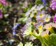 Miodowa pszczoła makro- zdjęcie stock