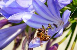Miodowa pszczoła na błękita i purpur kwiacie Zdjęcia Stock