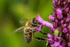 Miodowa pszczoła na błękitnym kwiacie zbiera pollen Zdjęcia Stock