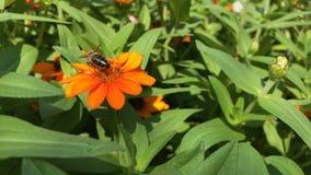 Miodowa pszczoła na cyni angustifolia kwiacie zbiory wideo