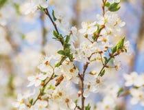Miodowa pszczoła na Czereśniowym okwitnięciu w wiośnie z Miękką ostrością, Sakura se Obrazy Royalty Free