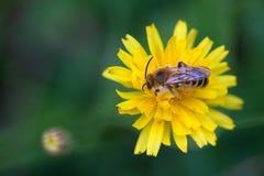 Miodowa pszczoła na dandelion fotografia royalty free