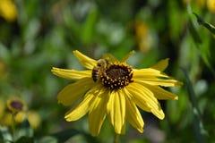 Miodowa pszczoła na dzikim lasu słoneczniku Zdjęcia Royalty Free