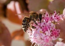 Miodowa pszczoła na kwitnąć kwiatu zdjęcia royalty free
