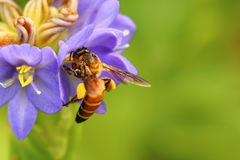 Miodowa pszczoła na pięknym lichened kwiacie Obraz Royalty Free