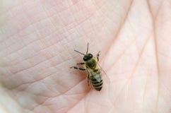 Miodowa pszczoła na ręce Zdjęcia Stock