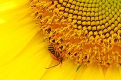 Miodowa pszczoła na słoneczniku obrazy royalty free