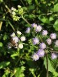 Miodowa pszczoła ssa nektar Ageratum conyzoides, Billygoat świrzepa lub kwiat Goatweed lub Whiteweed Obrazy Royalty Free