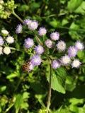 Miodowa pszczoła ssa nektar Ageratum conyzoides, Billygoat świrzepa lub kwiat Goatweed lub Whiteweed Fotografia Royalty Free