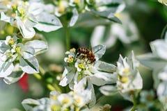 Miodowa pszczoła zbiera nektar od białego kwiatu obrazy royalty free