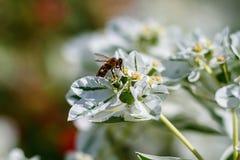 Miodowa pszczoła zbiera nektar od białego kwiatu zdjęcia stock