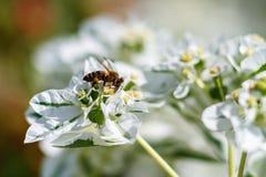 Miodowa pszczoła zbiera nektar od białego kwiatu obraz stock