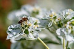 Miodowa pszczoła zbiera nektar od białego kwiatu kwitnąć Liściastego Kitaibelia fotografia royalty free