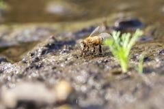 Miodowa pszczoła - zbiera wodę Zdjęcia Royalty Free
