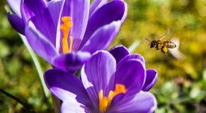 Miodowa pszczoła Zdjęcie Royalty Free
