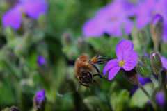 Miodowa pszczoła Zdjęcia Stock
