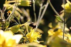 Miodowa pszczoła 2 Fotografia Royalty Free