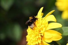 Miodowa pszczoła 3 Obraz Stock