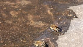 Miodowa pszczo?a dostaje nap?j woda od p?ytkiego basenu kt?ry tak?e zawiera innych ma?ych zwierz?ta jak wodnych pchie? dafnia zbiory