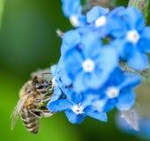 Miodowa pszczoła na alkannie Zdjęcie Royalty Free