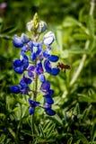 Miodowa pszczoła na Bluebonnet Fotografia Royalty Free