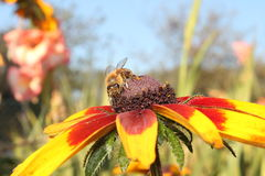 Miodowa pszczoła na kwiacie Obraz Stock