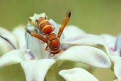 Miodowa pszczoła na kwiacie Zdjęcia Royalty Free