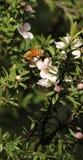 Miodowa pszczoła na Manuka kwiacie zdjęcie royalty free