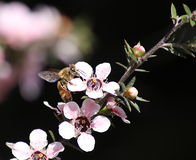 Miodowa pszczoła na Manuka kwiacie Fotografia Royalty Free