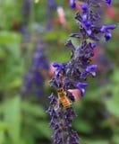 Miodowa pszczoła na purpurowym lawendowym kwiacie Zdjęcie Royalty Free