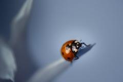 Miodowa pszczoła na purpurowym osecie Obraz Royalty Free