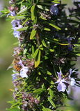 Miodowa pszczoła na Rosmary kwiatach zdjęcia stock