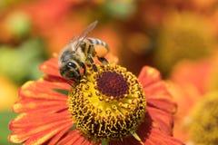Miodowa pszczoła w kwiacie Obrazy Royalty Free
