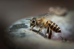 Miodowa pszczoła w natury tle Obrazy Royalty Free