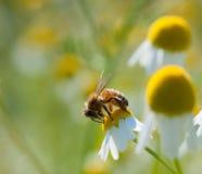 Miodowe pszczoły na chamomile kwiacie obraz royalty free