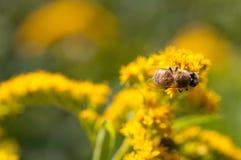 Miodowe pszczoły na Goldenrod kwiacie obraz royalty free