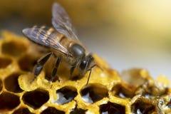 Miodowe pszczoły na pszczoła roju fotografia royalty free