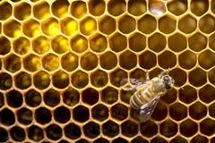 Miodowe pszczoły na pszczoła roju w Tajlandia i Azja Południowo-Wschodnia zdjęcia royalty free