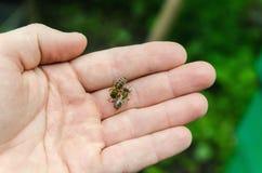 Miodowe pszczoły na ręce Obrazy Stock
