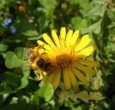 Miodowe pszczoły od Serbia zdjęcia royalty free