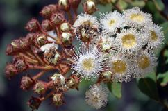 Miodowe pszczoły zapyla kwiatonośnego gumowego drzewa obraz royalty free
