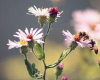 Miodowe pszczoły na kwiacie Zdjęcia Royalty Free