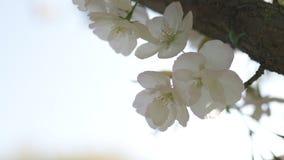 Miodowe pszczo?y zbiera pollen i nektar jako jedzenie dla ca?kowitej koloni, zapylaj?cy zasadzaj? i kwitn? - wiosna czas zbiory wideo