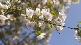 Miodowe pszczo?y zbiera pollen i nektar jako jedzenie dla ca?kowitej koloni, zapylaj?cy zasadzaj? i kwitn? - wiosna czas zbiory