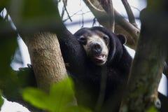 MIODOWEGO niedźwiedzia sen NA drzewie zdjęcia stock
