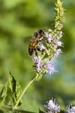 Miodowej pszczoły Kwiatonośny basil Zdjęcie Stock