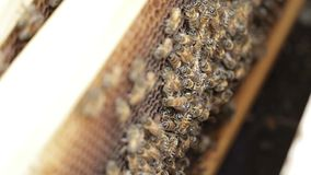 Miodowej pszczoły makro- materiał filmowy pszczoła miodu i roju produkci pszczelarka zbiory