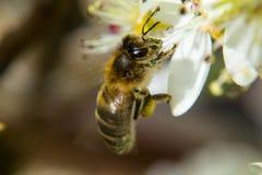 Miodowej pszczoły zbieracki nektar od białego kwiatu Obrazy Royalty Free